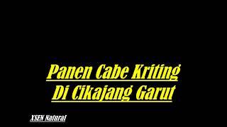 Panen Cabe Kriting