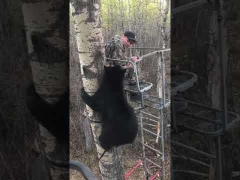 Karhu tulee moikkaan metsästäjää