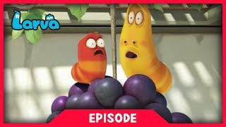 Red and Yellow find bunch of grapes on the vine and try to get it. Black finds it as well but Red and Yellow obstruct Black with grape seeds, he gets angry. Could Red and Yellow be safe?⏩⏩⏩ SUBSCRIBE to LARVA: http://www.youtube.com/channel/UCph-WGR0oCbJDpaWmNHb5zg?sub_confirmation=1🐌 SEASON 1 - Storm Drain 🐌Red and Yellow, two strange Larva who live underneath a storm drain, encounter many surprises which fall from the outside world to their underground universe. For these two wriggly friends, anything is a good excuse for fun. See the world from Red and Yellow's point of view, and experience what a dangerous and exciting place the world can be for such small friends.🐌 SEASON 2 - HOUSE 🐌Eager to explore the world above, Red & Yellow squat in an old house stuck between high-rise buildings in the big city. Exploring their new home and meeting new creatures means more laughs for the comic duo. Sometimes they fight. Sometimes they find themselves in trouble together. A story of two cute and hilarious larva.🐌 SEASON 3 - NEW YORK 🐌Now it's the New York City. Watch Red and Yellow's incredible abilities while they explore the city. A whole new adventure in a bigger scale! The exciting survival story of two little Larva in New York.🐌 THE CHARACTERS 🐌💛 Yellow 💛 Yellow is a dimwitted and happy-go-lucky yellow colored larva with an antenna. Yellow is always abused by Red, but that never endangers their friendship. Although usually he obeys Red, he loses his mind in front of food.❤️ Red ❤️Red is a mostly hot-tempered and greedy red colored larva. His specialty is shouting and kicking like Bruce Lee. He is always showing off and abusing Yellow, but he often ends up hurting himself instead.💜 Violet 💜Violet is an oversized ghost slug. He is sometimes shown with his lower half buried in the ground. When he is threatened, he exposes his whole body and roars.🚪 Brown 🚪Brown is a cloying dung beetle that gathers poop. To him, poop is either his food or his treasure. He hates it when ot