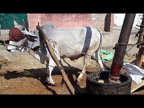 Amazing Bullock- Powered Oil Factory In Indian Village, Rajasthan India : Primitive Technology
