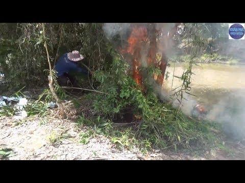 Đốt bắt sống ổ Rắn Độc cực hung cố thủ trong bụi cây/catch poisonous snakes - Thời lượng: 20:01.