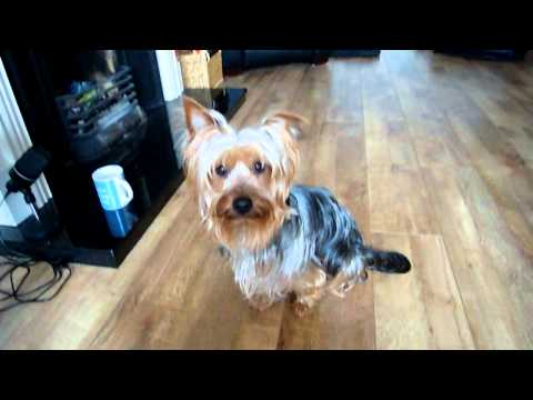 YOSHI THE AMAZING YORKSHIRE TERRIER!