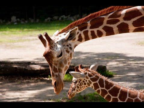 Baby Giraffes - SANTA BARBARA ZOO