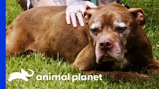 Senior Dog Finds A Home To Live Out The Rest Of His Days In Comfort   Pit Bulls & Parolees
