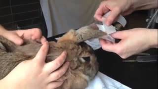 Vet putting an IV catheter in a rabbit