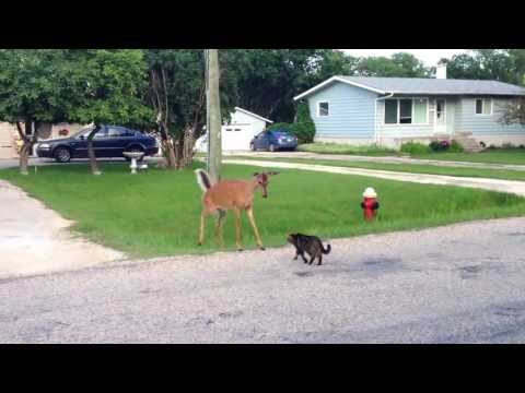 Video cat vs. deer download in MP3, 3GP, MP4, WEBM, AVI, FLV January 2017
