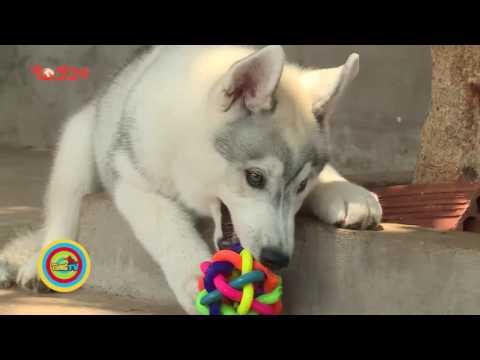 Kỳ 5: Giới thiệu về giống chó Husky Siberian - Thú Cưng TV