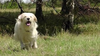 Check This! Poodle Golden Retriever Training. Funny Dogs Youtube Video. Compilation No. 60 2014