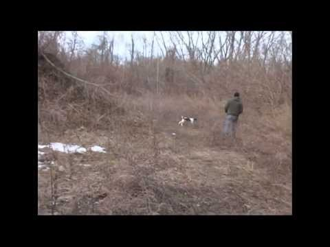 gundog training how to roll clip wing pigeon finds for 14 week old springer spaniel puppygundog training how to roll clip wing pigeon finds for 14 week old springer spaniel puppy<media:title />