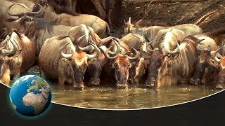 Video The greatest animal migration on earth MP3, 3GP, MP4, WEBM, AVI, FLV Oktober 2018