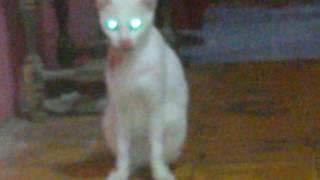 kucing putihku terluka parah habis tempur