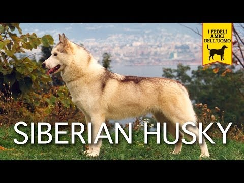 siberian husky documentary