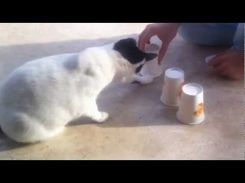 Milki the cat playing cup game