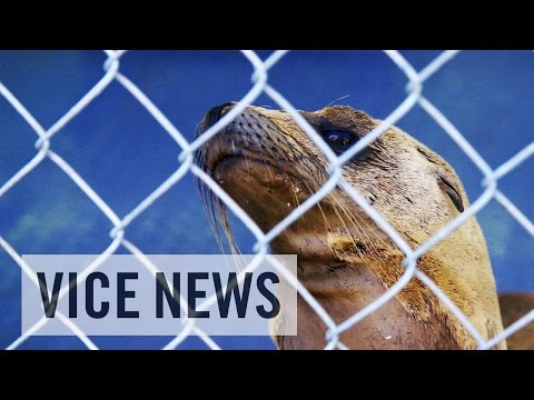 Duizenden zeeleeuwtjes gestorven in Californië