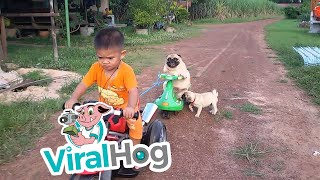 Pug Puppy Wants Back On The Motorcycle || ViralHog