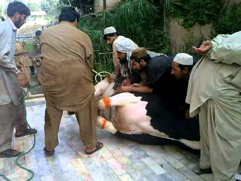 biggest bull qurbani live weight 1500 kg