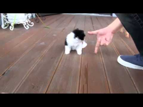 Teacup chihuahua(long hair) For Sale