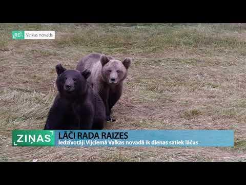 Pārdrošā lāču uzvedība Vijciema lauku teritorijās rada bažas par cilvēku drošību