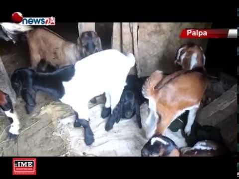 (पाल्पाका ग्रामिण भेगका कृषक बाख्रापालनबाट लाभन्वित - NEWS24 TV - Duration: 3 minutes, 27 seconds.)