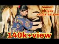 Download Lagu Indian gir cow full milking by hand  video.. gir gay milking video dairyfarm gujarat. Mp3 Free