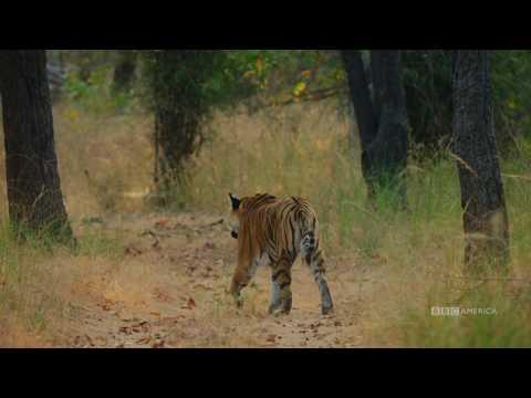 Tiger vs. Peacock | Dynasties Saturday at 9pm | BBC America