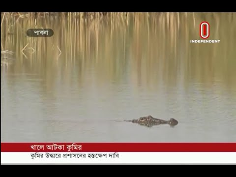 Crocodile trapped in Pabna canal (12-12-2018) Courtesy: Independent TV