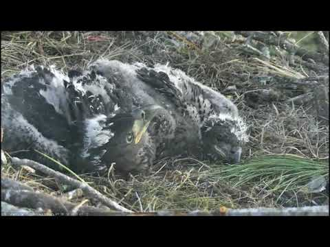 AEF NEFL Eagle Cam 1 13 2018 Sky and Spirit enjoying each other by Flyeagle78
