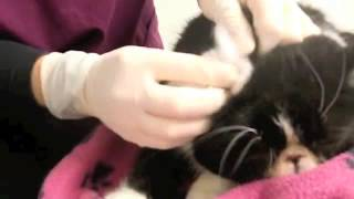 Cat ear infection treatment at Wellpets