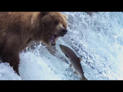 Video Grizzly Bears Catching Salmon | Nature's Great Events | BBC download in MP3, 3GP, MP4, WEBM, AVI, FLV January 2017