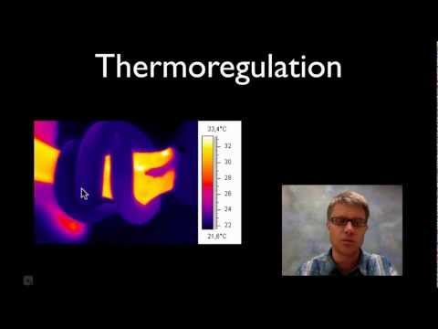 simulated thermoregulation in endotherms and ectotherms