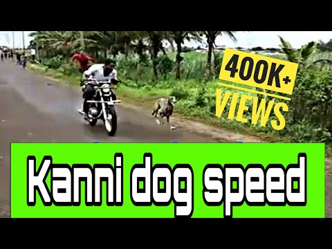 Kanni (chippiparai) Dog Race In India | Indian Hound |