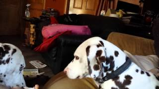 Dalmatian basement  wrestling