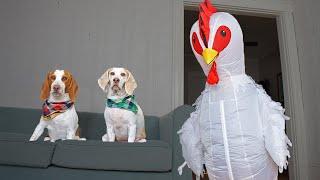 Dog vs Giant Chicken Prank: Funny Dogs Maymo, Potpie & Penny by Maymo