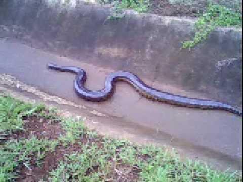 serpente immenso trovato in un canale