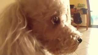 Il Gnam Gnam Di Vilci [poodle Eating Funny]