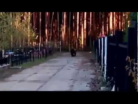 Медведь на кладбище в Советском, ХМАО-Югра