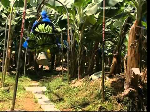 banana - A brief look at how the humble banana is grown in a Costa Rican field - as well as the harvesting, treatment, packing and the transporting processes involved...