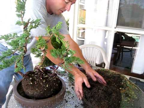 How to Create a Bonsai Tree from a Nursery Juniper, Part Three