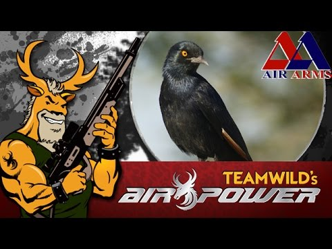 Airgun Hunting: Starling Pest Control in South Africa