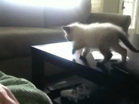 Un gran salto para un pequeño gatito