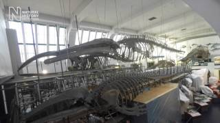 Teaser: staging set for blue whale move
