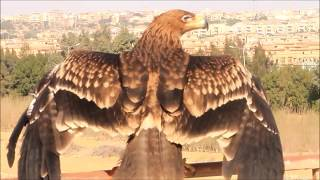 نسخة عن Eastern Imperial eagle