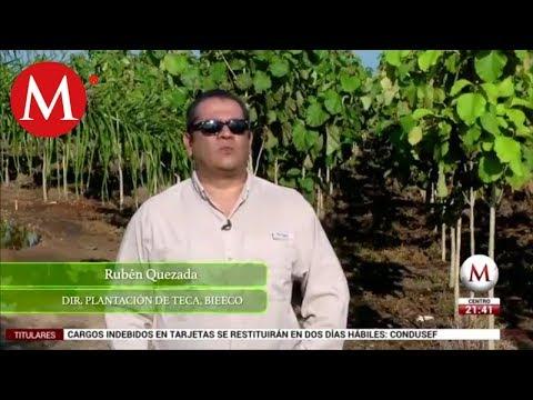 La plantación de Teca en Yucatán