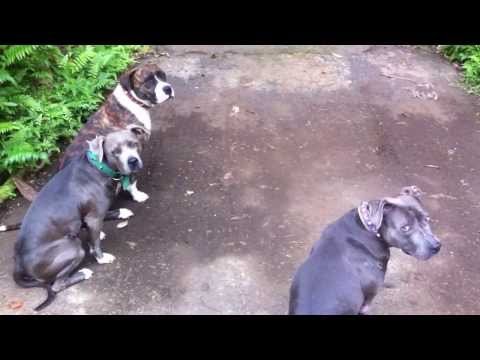 The smartest dogs in Hawaii! They mastered our before-walk-time-game of know your name!!