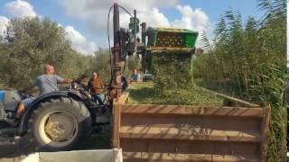 העברת מיכלי הזיתים לאחר מסיקתם מהשטח לגונדולה גדולה לקראת העברתם לבית הבד- כרם זיתים עץ השדה גבעת עד