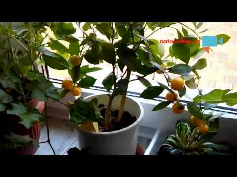 Mandarinky v unoru