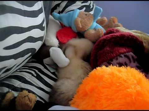 Ferret vs. Stuffed Animals