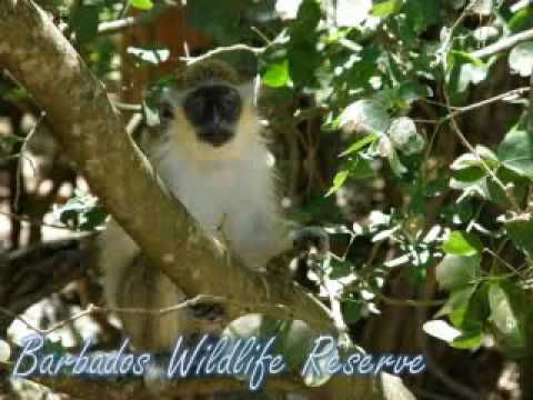 Barbados Wildlife Reserve Glory Tours