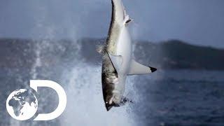 Video Great White Shark Makes A Splash In New Zealand Waters   Air Jaws: The Reign   SHARK WEEK 2018 MP3, 3GP, MP4, WEBM, AVI, FLV Juli 2019