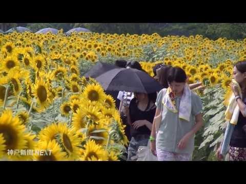 笑顔咲かせる太陽の花 イングランドの丘